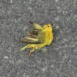 Paruline jaune morte, Mélissa Longpré